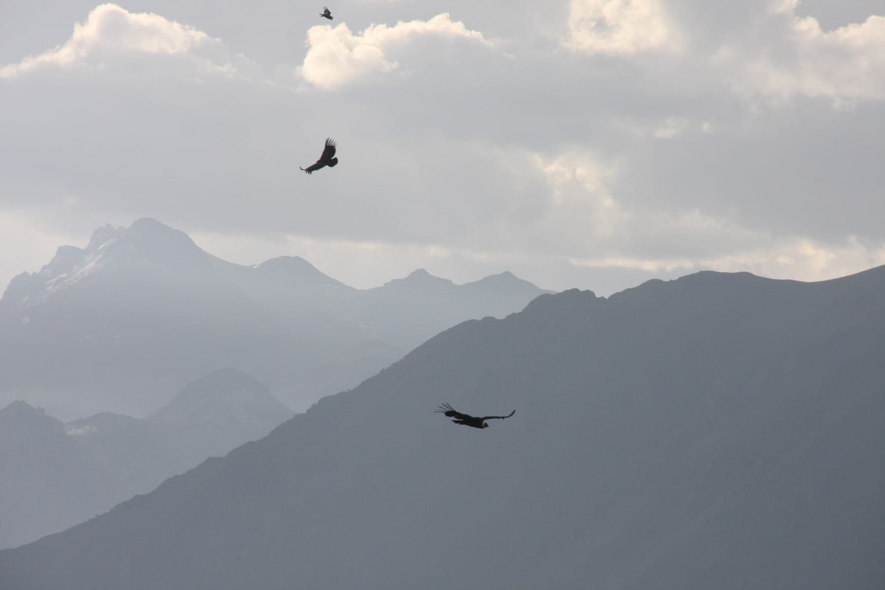 Condors in Colca Canyon - Peru